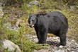 american black bear (ursus americanus); alberta, canada