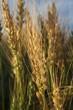 a wheat head in a field at sunrise; alberta, canada