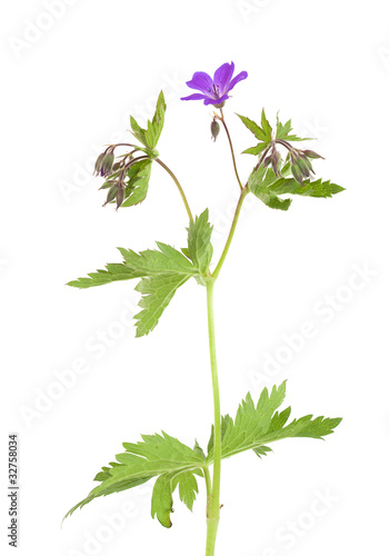 Wood cranesbill isolated on white background