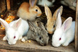 Bunny Rabbits family
