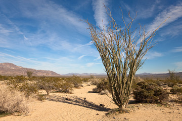 Ocotillo Cactus in the Sonora Desert