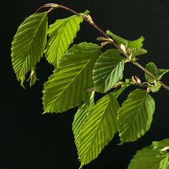 Hainbuchenblatt, Hainbuche, Carpinus betulus