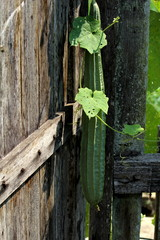 Angled loofah plant on wooden back ground