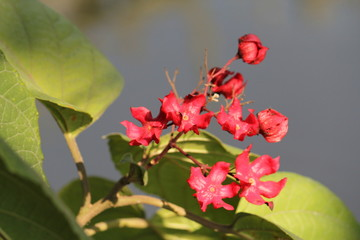Young roselle flower in Thailand