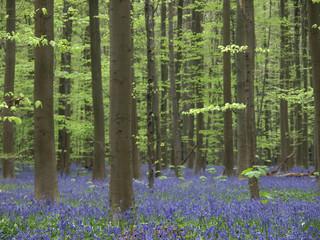blauer blüttenteppich im wald (hasenglöckchen)6