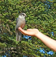 Making friends: Alaskan grey jay sitting on a hand