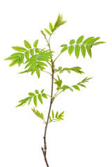 Young ash tree on white