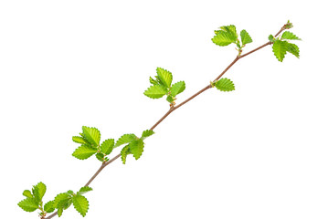 Branch of elm tree with spring buds on white background