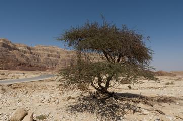 Acacia in stone desert, Israel