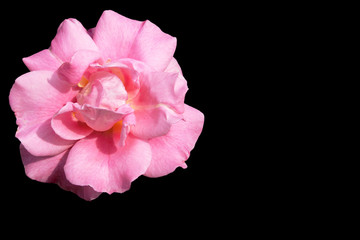 Isolated bright pink rose