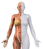 White female figure in anatomical position anteriror view poster