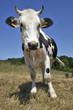 """Vache """"Prim'Holstein"""""""