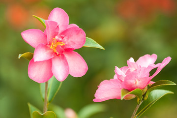 Camellia flowers in garden closeup