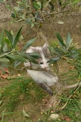 chaton gymnaste dans le petit olivier