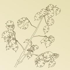 hand drawn herb