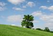 albero solitario sulle colline di Grosseto in Toscana