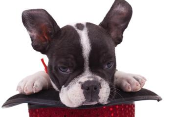 sleepy French bulldog in a show hat