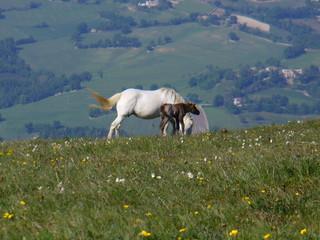cavallo e puledro