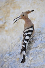 Common Hoopoe (Upupa epops), Israel