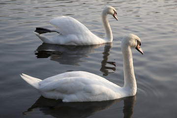 Two Swans in Hyde Park Central London