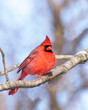 cardinal nestled in a leafless tree