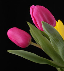 beautiful pink tulips isolated on black background