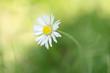 kwiat stokrotka