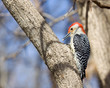 red bellied woodpecker eating a piece of corn