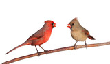 two cardinals with a whole safflower seeds in their beak poster