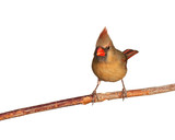 female cardinal eats a tasty seed