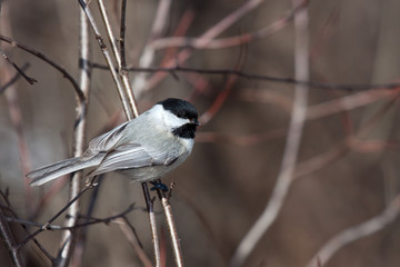 black capped chickadee nestled on a branch