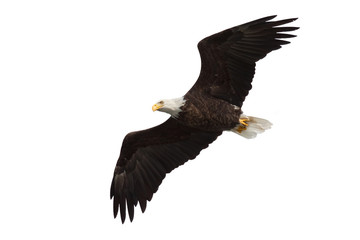 spread wing bald eagle soars across the sky