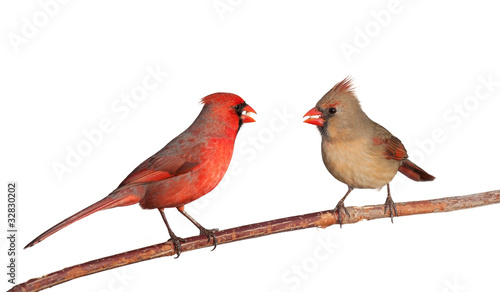 two cardinals with a whole safflower seeds in their beak