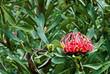 Detaily fotografie Tasmánský Waratah, Telopea truncata, květiny a zeleň