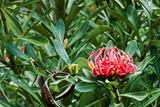 Tasmánský Waratah, Telopea truncata, květiny a zeleň
