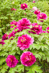 Mauve peony flower garden