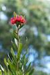 Detaily fotografie vysoký tasmanian strážce, telopea truncata