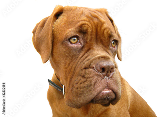 Bordeaux mastiff on a white background