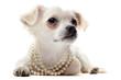 chihuahua et collier de perle
