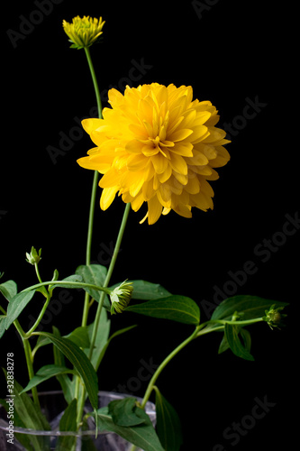 yellow dahlia flower in a bowl over black