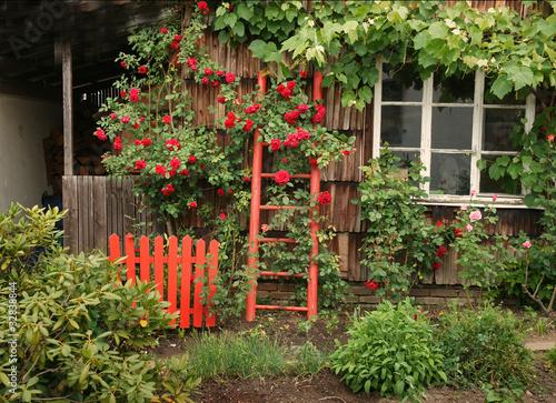 Rote Rosen am Haus