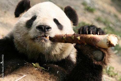 Keuken foto achterwand Panda ジャイアントパンダ