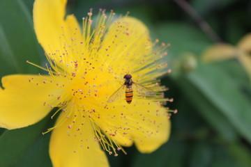 黄色のキンシバイとミツバチ