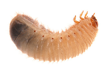 Larva of cockchafer