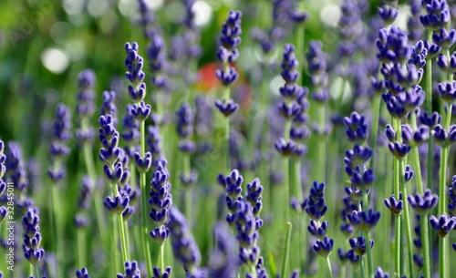 Pis de lavande d but de floraison de celeste clochard photo libre de droits 32845011 sur - Floraison de la lavande ...