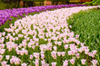 Pink and magenta tulip beds