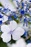 modrá hortenzie krajka cap detailním
