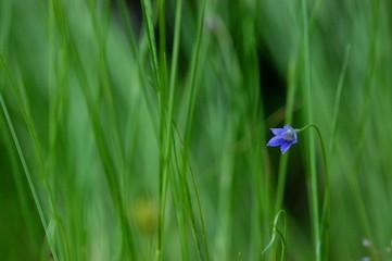 青い野草の花