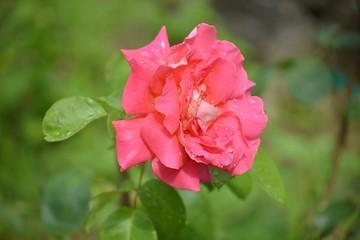 Rosa bagnata