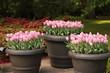 Tres macetas con tulipanes rosas